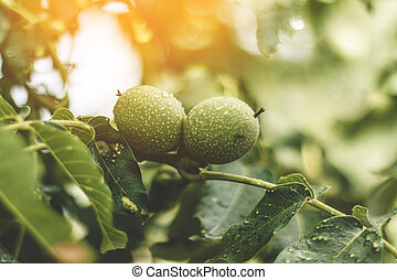 Walnut fruit growing on a tree in the garden in the yellow warm rays of the summer sun