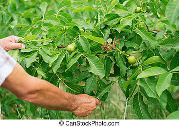 Walnut grows on a tree. Man grows nuts in the garden. Production of nuts on the farm.