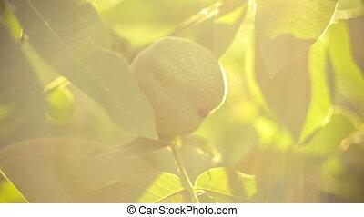 Walnut hanging on walnut tree in sun flares - Walnut hanging...