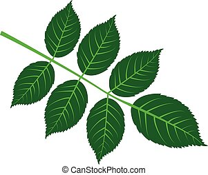 walnut leaf