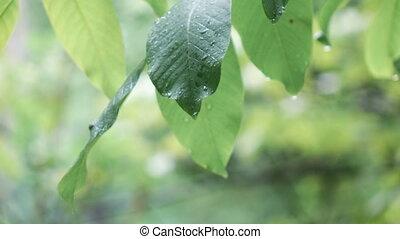 Walnut leaves during rain - Walnut large leaf during rain