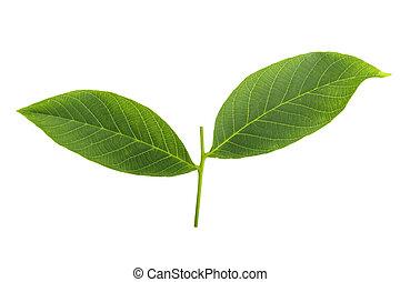 walnut leaves on white background