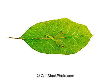 Walnut leaves on white background
