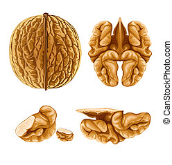 walnut nut with shell - illustration, isolated on white ...