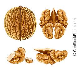 walnut nut with shell - illustration, isolated on white background