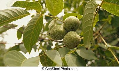 Walnut on a branch - Raw unripe walnut on a tree