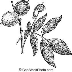 Walnut or Juglans regia, vintage engraving - Walnut or...