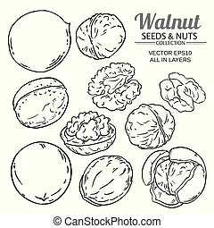 walnut plant vector - walnut seeds vector on white...