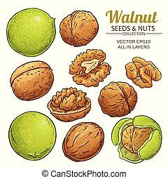 walnut plant vector - walnut seeds vector on white...