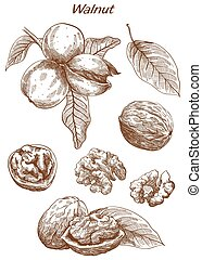walnut set of sketches