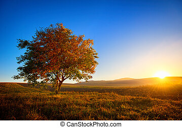 Walnut tree alone in the filed at sunset