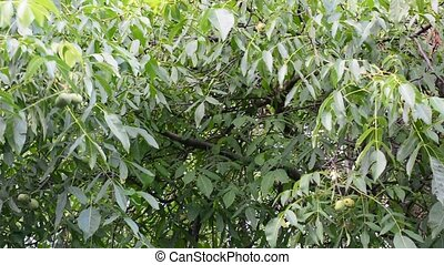 Walnut tree branches - Branches of walnut tree swaying in...