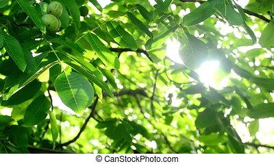 Walnut tree in orchard - Morning Sunlight through walnut...