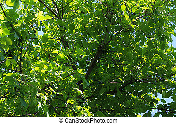 walnut tree in the nature