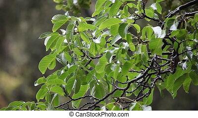 walnut tree in the rain