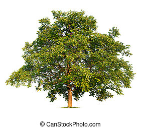 Walnut Tree on White