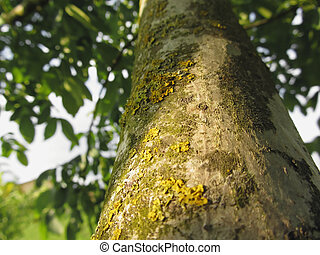 Walnut tree trunk with yellow moss fungus and lichens