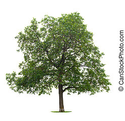 Walnut Tree - Walnut isolated on white