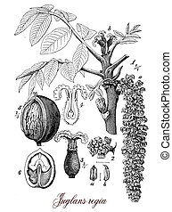 Walnut tree widely cultivated across Europe, botanical vintage engraving