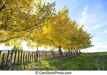 walnut trees in autumn