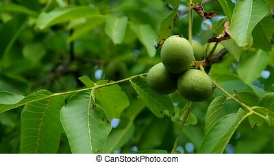 Walnuts on the tree