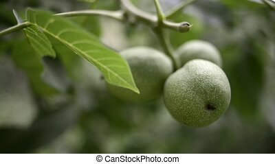walnuts ripening branch - green walnuts ripening on tree...