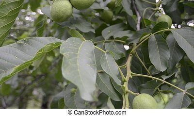 walnuts ripening on branch - big green walnuts ripening on...
