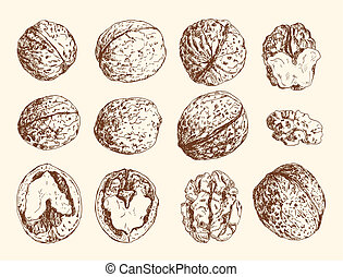 Walnuts - Set of hand- drawn walnuts