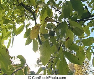 Walnuts tree with nuts on branch