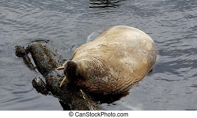 Walrus demonstrates this feature tripped Tusk over stone...