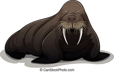 Walrus - Illustration of a close up walrus