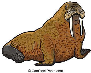 walrus, odobenus rosmarus, wild animal of arctic, ...