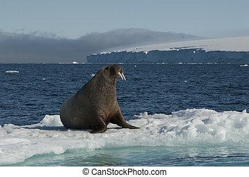 Walrus on an ice floe