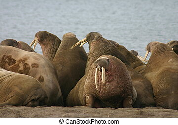 Walruses in the High Arctic around Svalbard