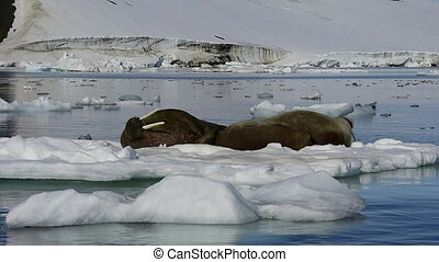 Walruses on ice flow in Franz Joseph Land Arctic