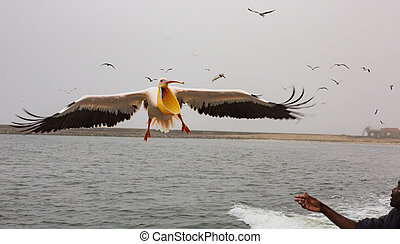 Walvis Bay, Namibia July 16, 2018 A Great White Pelican flies close to a boat