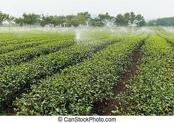 wan, chá, tai, fazenda, verde