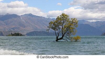 Wanaka New Zealand lone tree of Lake Wanaka famous tourist attraction. RED EPIC SLOW MOTION.