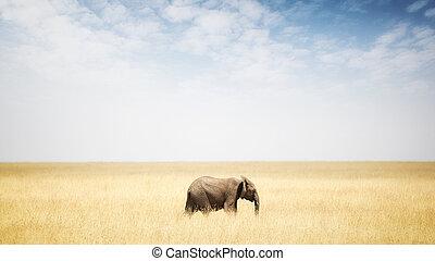 wandelende, elefant, afrika, gras, een