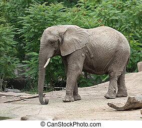 wandelende, elefant