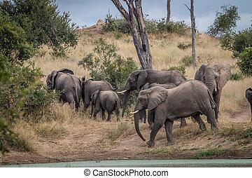 wandelende, kudde, grass., olifanten
