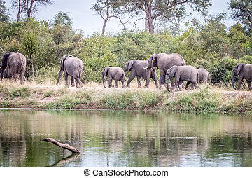 wandelende, kudde, road., olifanten