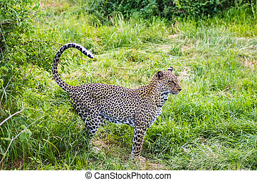 wandelende, luipaard, bos, samburu