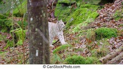 wandelende, lynx, bos, europeaan, welp