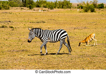 wandelende, mara, savanne, masai, park, vrijstaand, zebra, kenia