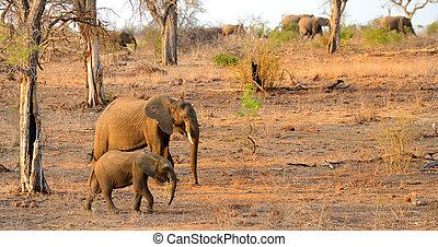 wandelende, olifanten, elefant, kudde, moeder, baby