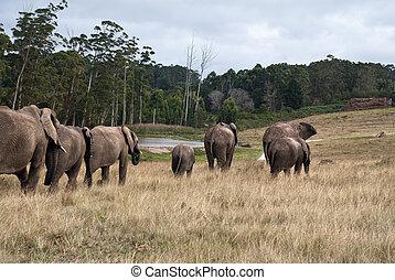 wandelende, olifanten, reserveren, afrika, kudde, spel, zuiden