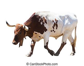 wandelende, op, achtergrond, vrijstaand, stier, witte
