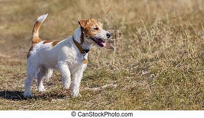 wandelende, puppy, russell, dog, dommekracht, gras, vrolijke