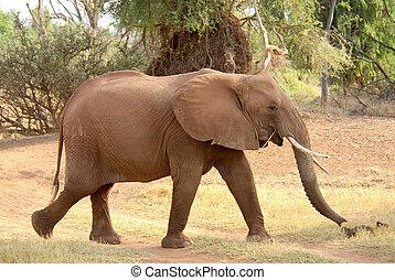 wandelende, (samburu, afrikaan, reserveren, elefant, kenya)